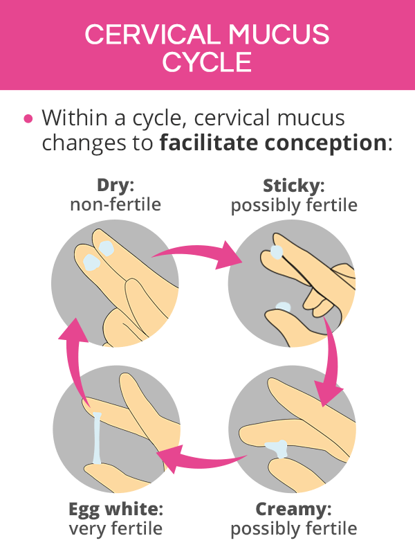 cervical mucus cycle