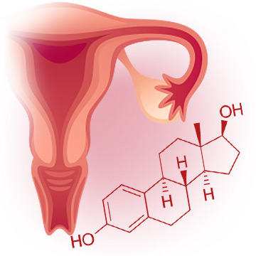 Estrogen Production