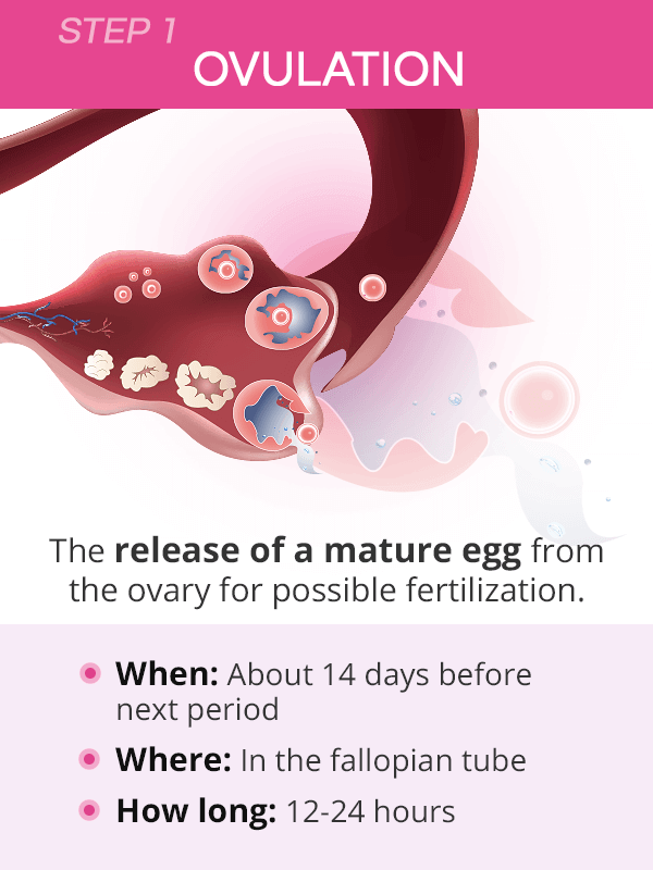When ovulation happens
