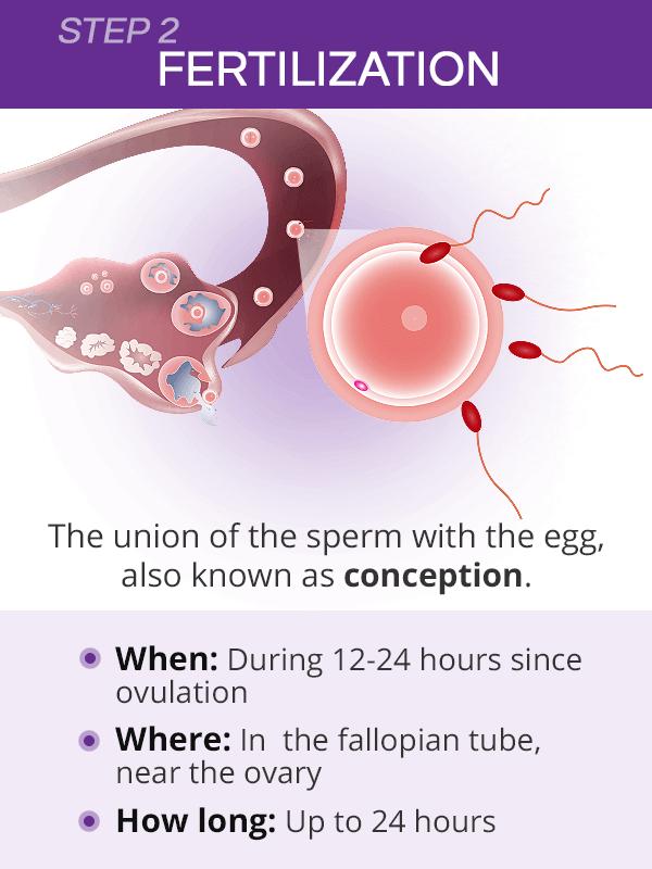 How long does fertilization take