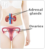 The female body produces testosterone in the ovaries and the adrenal glands