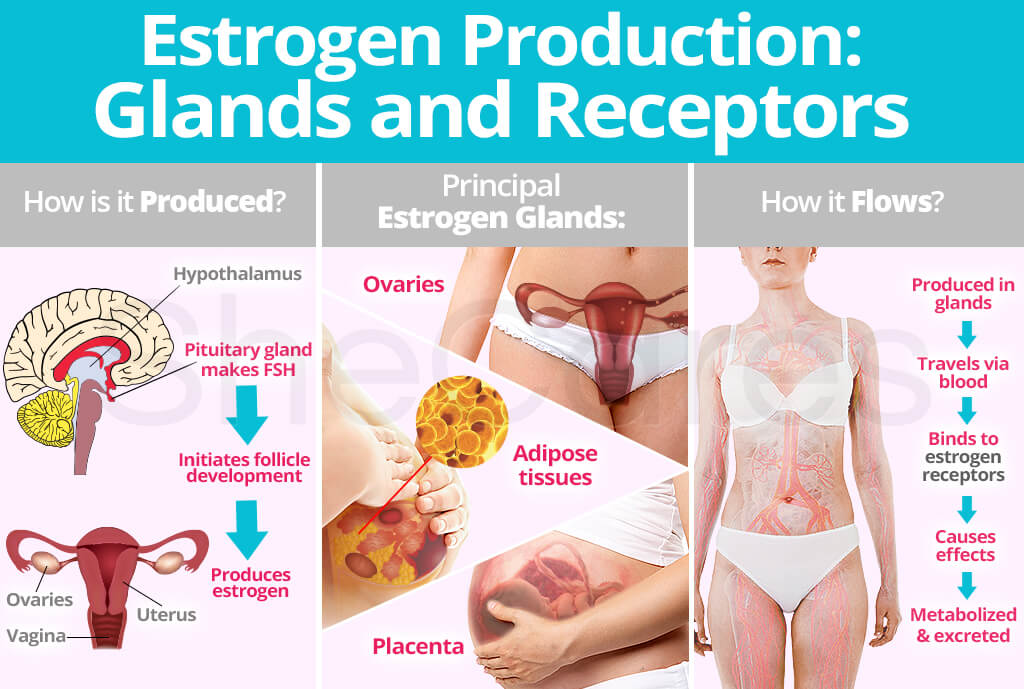 Estrogen Production: Glands and Receptors