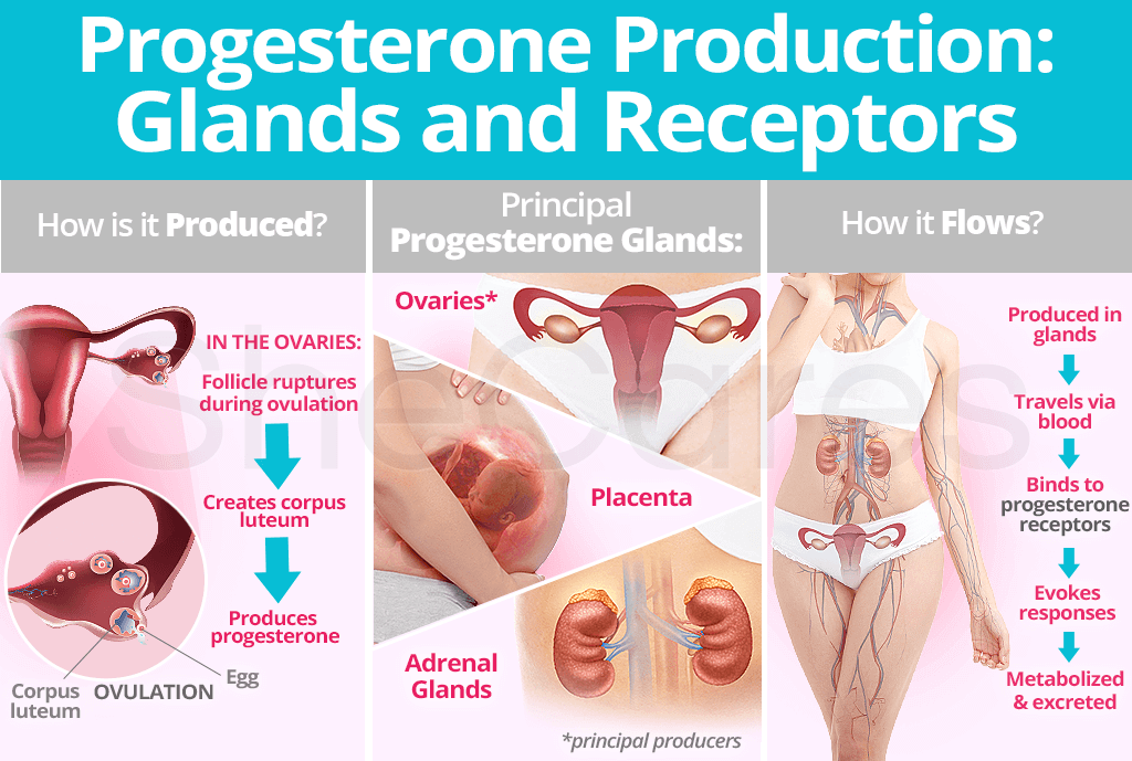 Progesterone Production: Glands and Receptors