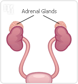 Progesterone is produced and secreted by the adrenal glands