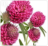 Red clover is a natural supplement that can be used to combat hormonal imbalance