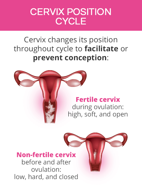 cervix position during cycle