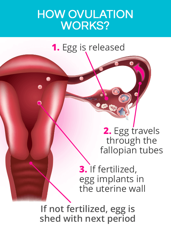 How Does Ovulation Work?