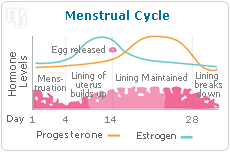 Estrogen is made during the menstrual cycle.