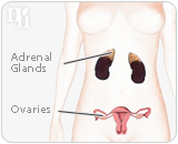 Woman's body produces testosterone in the ovaries ans adrenal glands