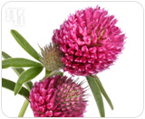 Red clover is used to treat progesterone dominance