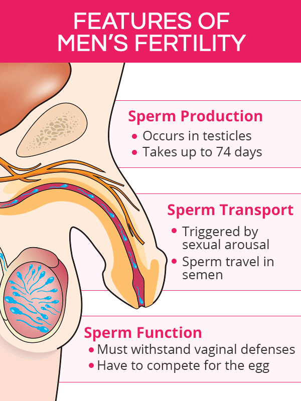Sperm production, transport, and function