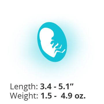 Baby at 17 weeks pregnant