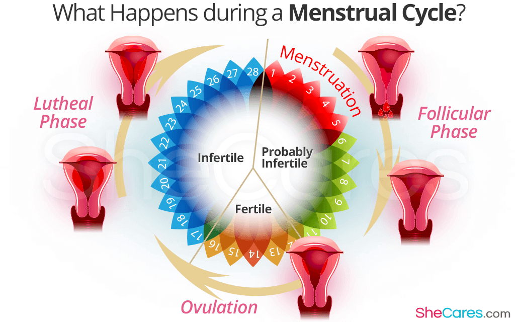 What Happens during a Menstrual Cycle?